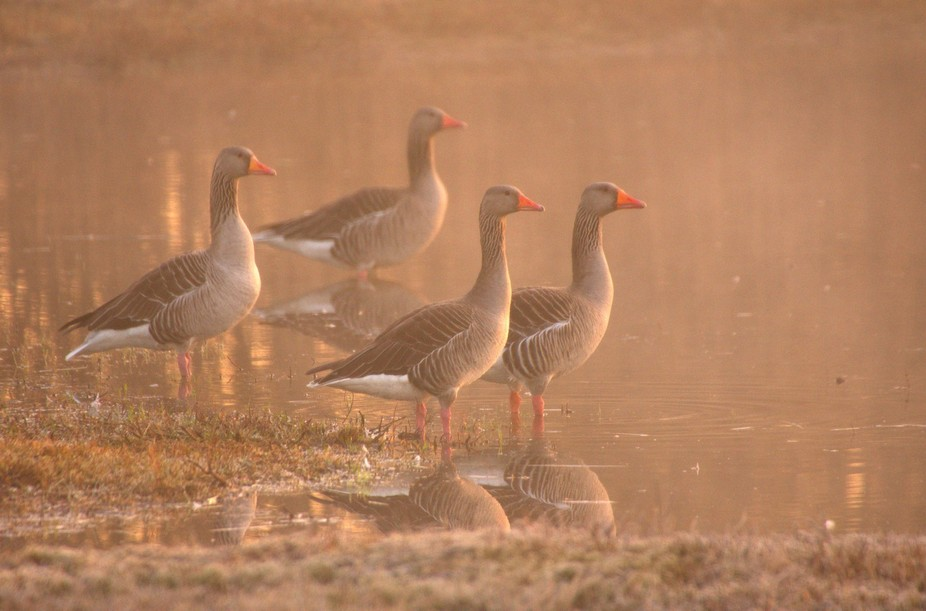Geese in early morning fog, Voorstonden, the Netherlands