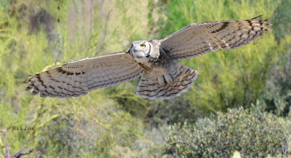 I caught the Great Horned Owl just in landing