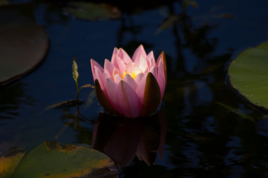 The morning sun filters through the trees and spot lights a Water Lilly at Shaw Nature Reserve.