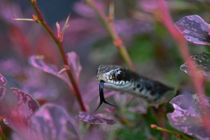 Licky Licky by michaelbeckwith - Snakes Photo Contest