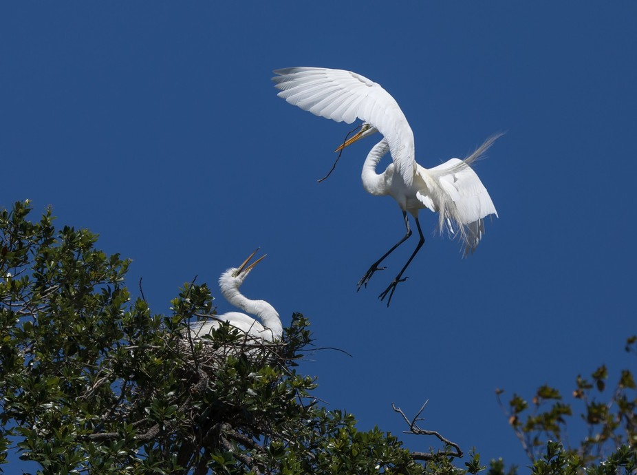 Great Egrets Nesting Time