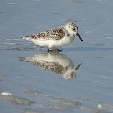 Plover Bird Reflection