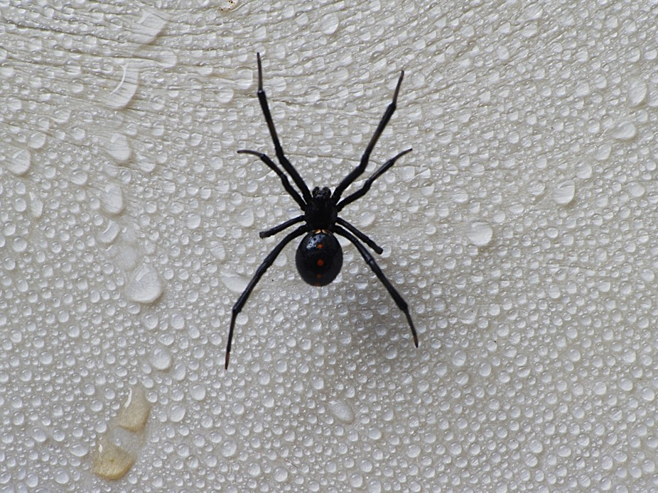 A standard black widow with a pretty gold and red pattern on her back.  She was a fun subject.