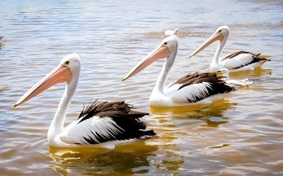 Pelicans in sync