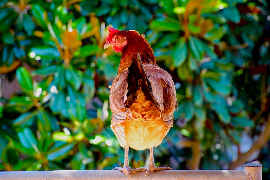 Chicken Rail (fullsizeoutput_441d)