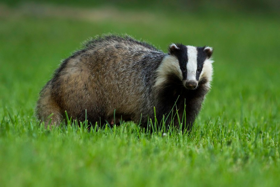 Mother Badger ( you can see her breast )