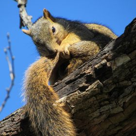 A squirrel preens his tail while perched in a tree at the Dallas Arboretum.
