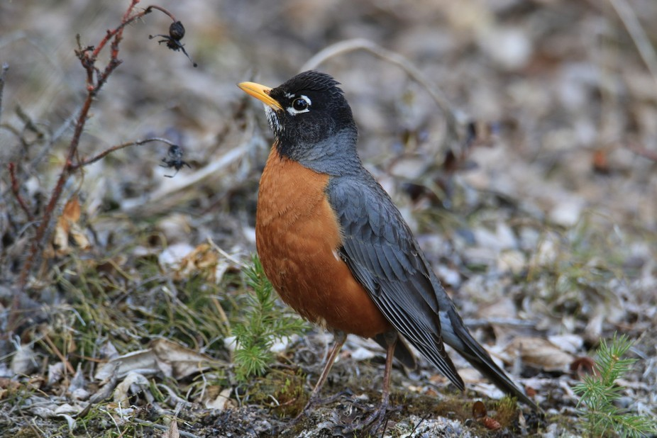 Robin getting territorial during early spring.