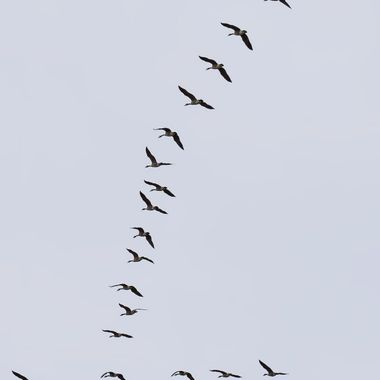 A formation of Canada Geese over the North Wales coast.