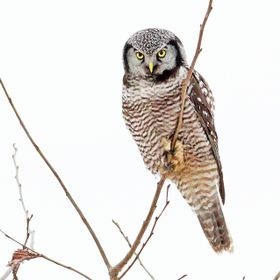 Northern Hawk Owl Seen in Vermont