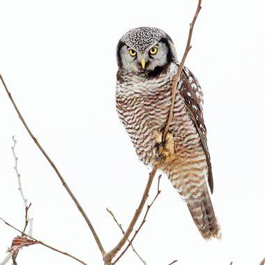 Northern Hawk Owl Seen in Vermont