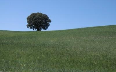 Barley Tree