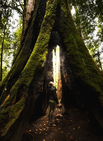 Catching the light of the last Redwood