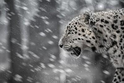 Snow leopard version 2