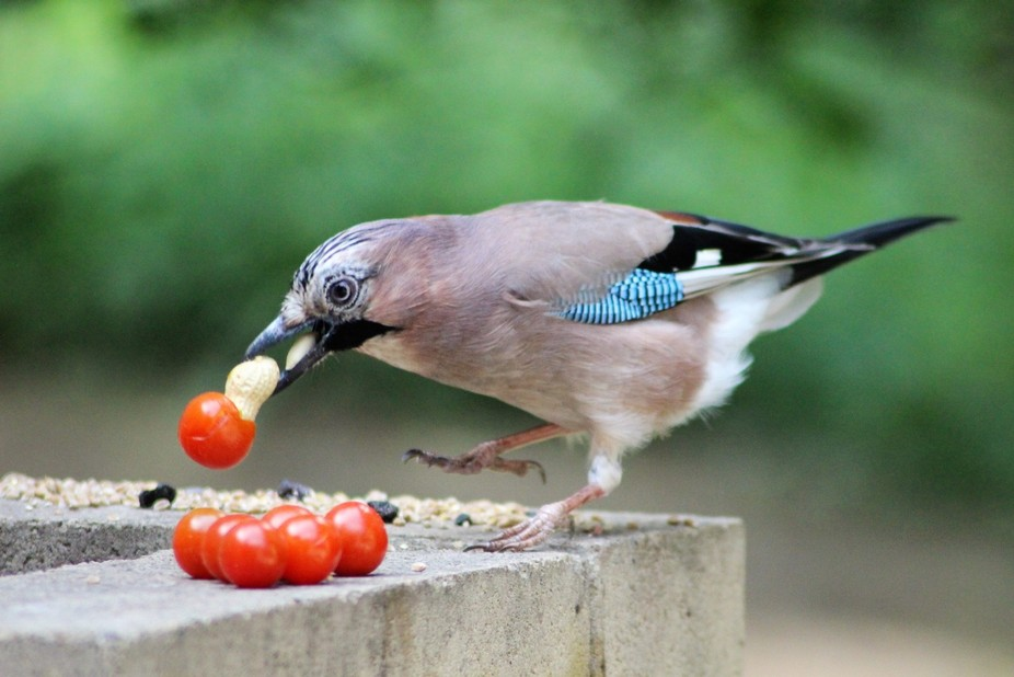 I was lucky to capture a shot of this Jay who popped down to take some food when I was feeding th...