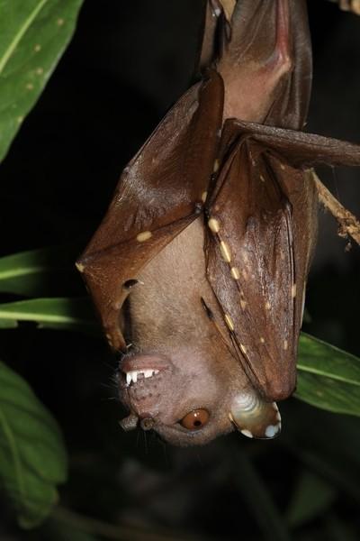 Tube Nosed Bat.
