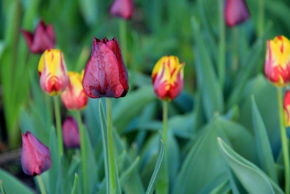 Deep red tulip