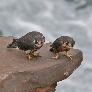 Juvenile Peregrine Falcons IMG_4906