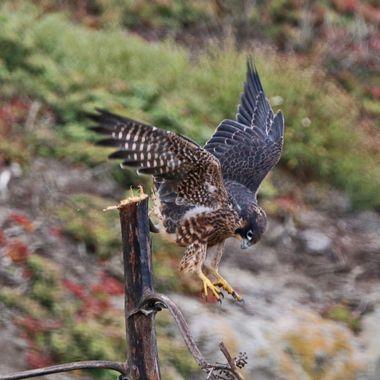 Juvenile Peregrine Falcon img_5529