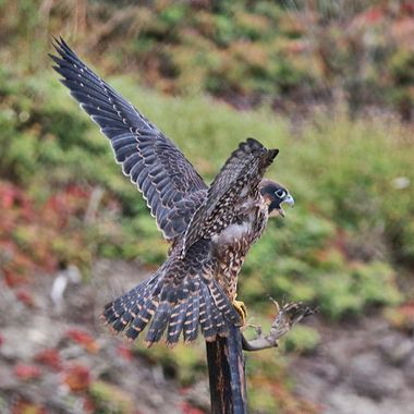 Juvenile Peregrine Falcon img_5506