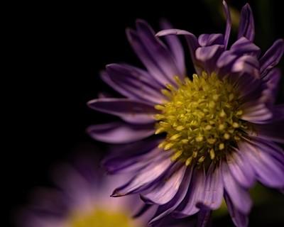 Purple Erigron 0525