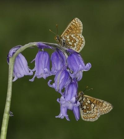 Pair of marsh fritillaries on a bluebell