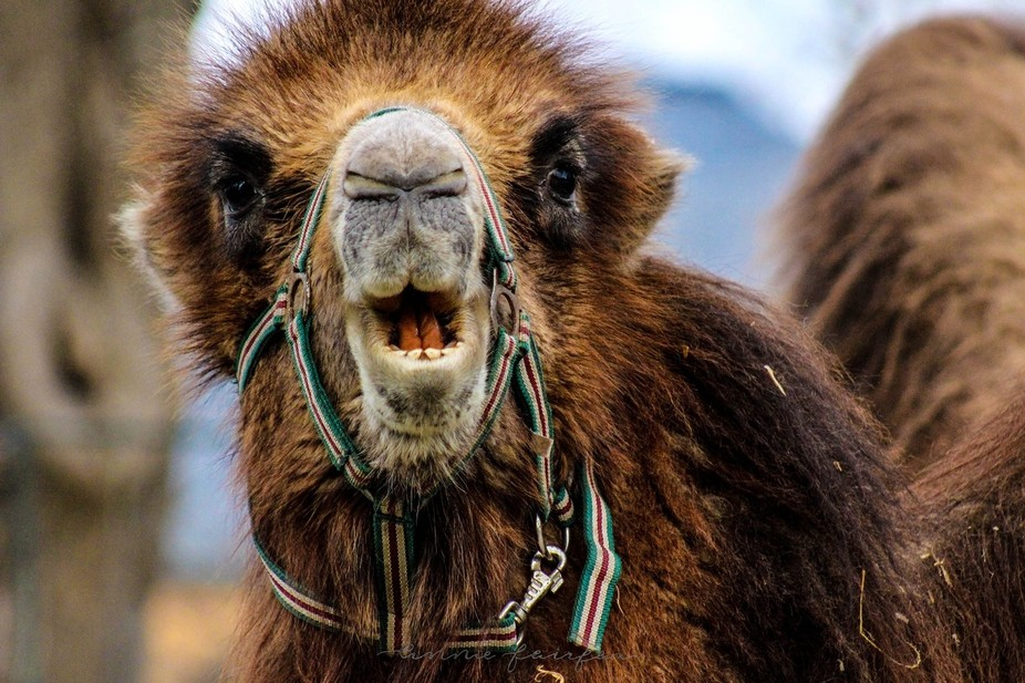 A camel photographed in Morocco