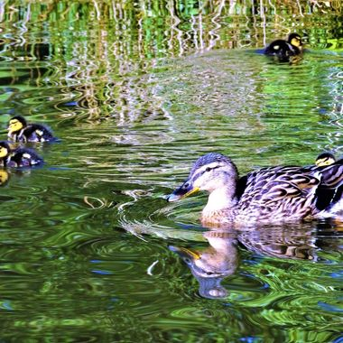 Watching family life on the pond on a beautiful day could stay all day so cute !