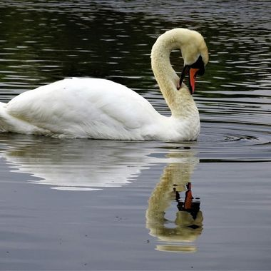 Always love the elegance of swans this capture is on my local Loch