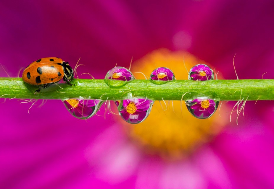 Focus stacking - Ladybug and water droplets refracting cosmos flower