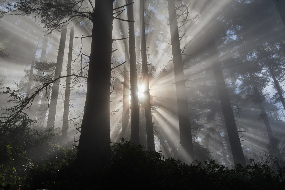 Rays of sun piercing the fog in a spruce forest at Patrick's Point State Park.