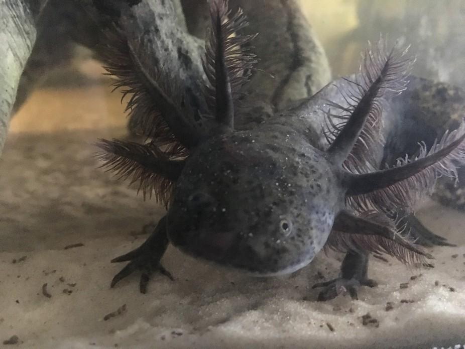 Patrick the Axolotl
