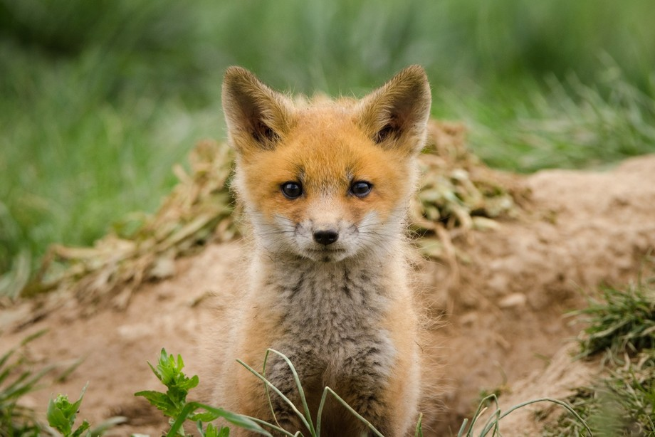 Coming Out is a beautiful wildlife portrait of a fluffy baby red fox coming up out of the den.   ...