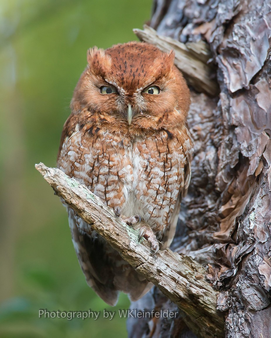 Eastern Screech owl (adult male) by wklein - Beautiful Owls Photo Contest