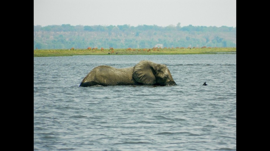 Elephant swimming across the Chobe River