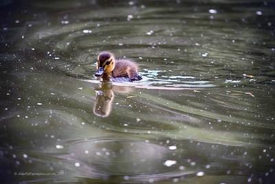 A cute duckling