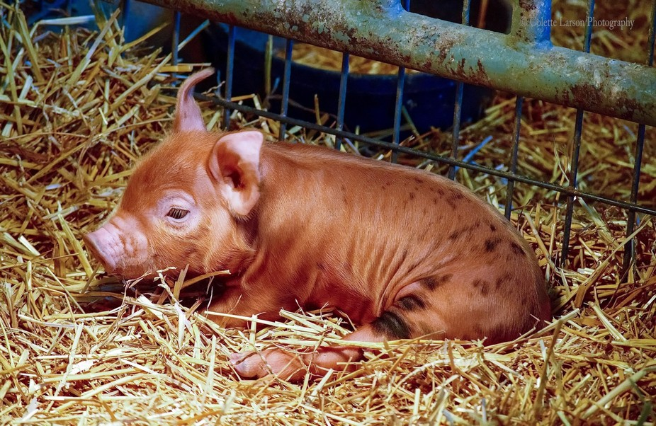 Drowsy, week-old piglet fighting to keep his head up as sleep closes in.
