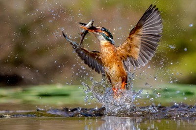 Emerging Kingfisher