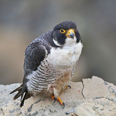 Pa Pa Peregrine Falcon IMG_5770