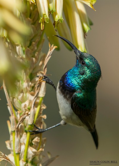 Sunbird Close up