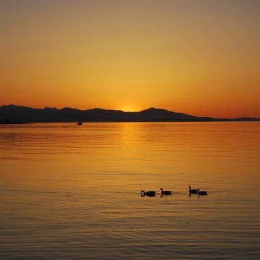 Goose Family having a Serene Sunset Swim on Qualicum Beach - May 20, 2017