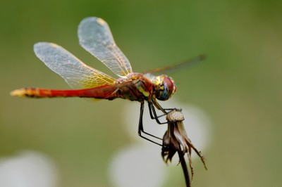 Red Dragonfly Capture!