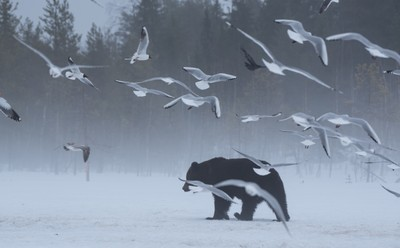 Brown Bear with Birds - 2