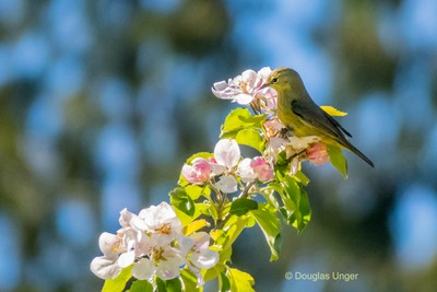 Yellow Warbler And Blossoms