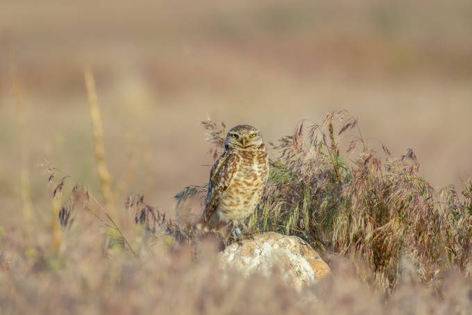 Burrowing owl by bry67 - Beautiful Owls Photo Contest