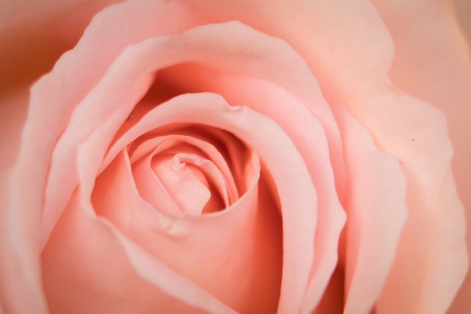 a beautiful specimen of a rose, such a soft delicate flower
