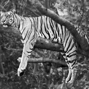 The Mauritius Collection - Tiger 1 B & W  Casela
