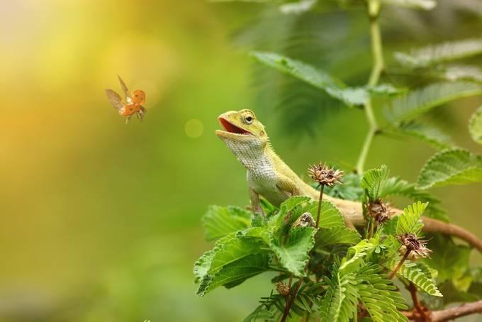 Lizard Hunting the ladybird by tahirabbasawan - Reptiles Photo Contest
