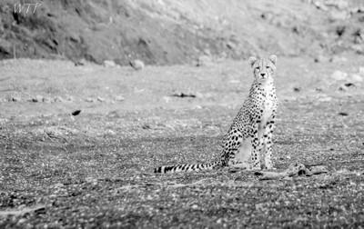 Riverbed Cheetah
