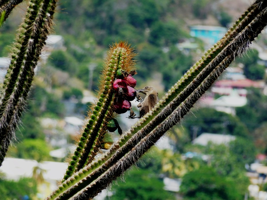 A common black bird enjoying a meal of cactus fruit.  Photo taken on Hamilton Fort in Bequia, St....